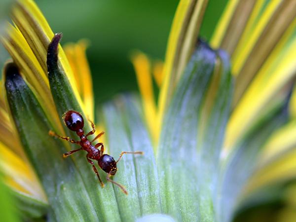 Мравчо – разказ